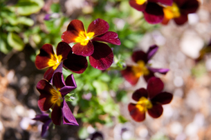 flower(pansy)_004の写真素材 [FYI00444702]