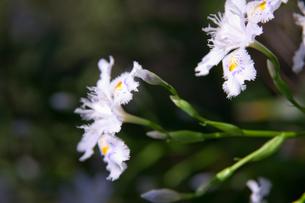flower(Iris_japonica)_005の写真素材 [FYI00444709]