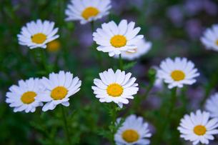 flower(marguerite)_001の写真素材 [FYI00444710]