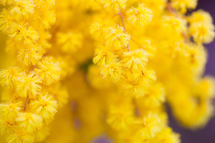 flower(Acacia_dealbata)_01の写真素材 [FYI00444716]