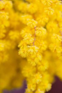 flower(Acacia_dealbata)_02の写真素材 [FYI00444728]
