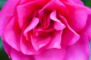 flower(Camellia_japonica)_24の写真素材 [FYI00444729]