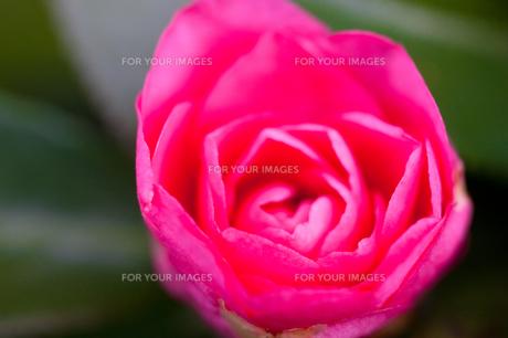 flower(Camellia_japonica)_20の素材 [FYI00444734]