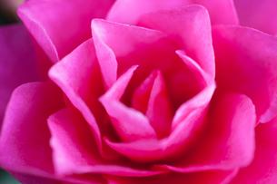 flower(Camellia_japonica)_21の写真素材 [FYI00444735]