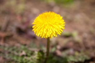 flower(dandelion)_001の写真素材 [FYI00444737]