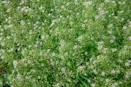 flower(shepherd's_purse)_004の写真素材 [FYI00444738]