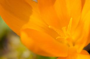 flower(crocus)_06の写真素材 [FYI00444742]