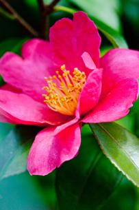 flower(Camellia_japonica)_01の写真素材 [FYI00444801]