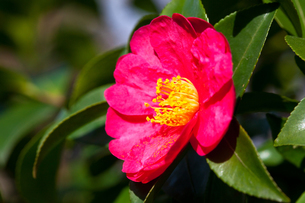 flower(Camellia_japonica)_08の写真素材 [FYI00444805]