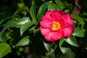 flower(Camellia_japonica)_06の写真素材 [FYI00444814]
