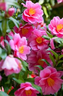 flower(Camellia_japonica)_18の写真素材 [FYI00444816]