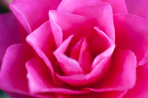 flower(Camellia_japonica)_21の写真素材 [FYI00444819]