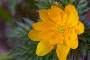 flower(Helipterum_manglesii)_01の写真素材 [FYI00444823]
