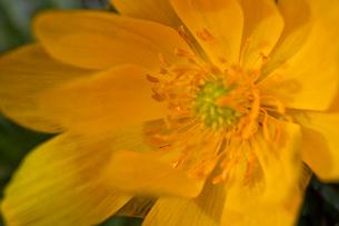 flower(Helipterum_manglesii)_02の写真素材 [FYI00444824]