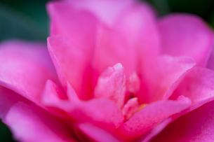 flower(Camellia_japonica)_25の写真素材 [FYI00444828]