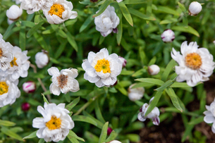 flower(Helipterum_roseum)_01の写真素材 [FYI00444831]