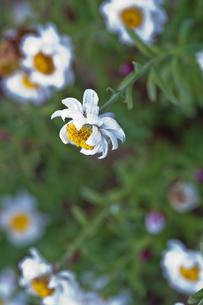 flower(Helipterum_roseum)_05の写真素材 [FYI00444840]
