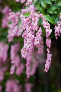 flower(Pieris_japonica)_06の写真素材 [FYI00444844]