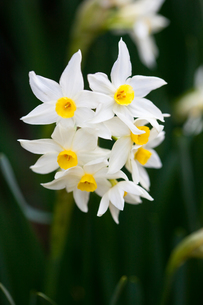 flower(Narcissus_tazetta)_06の写真素材 [FYI00444846]