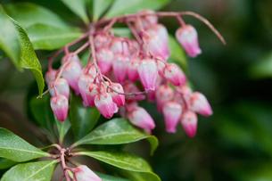 flower(Pieris_japonica)_01の写真素材 [FYI00444848]