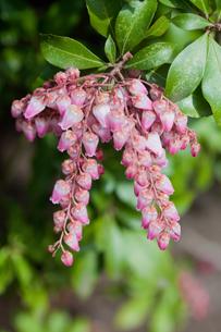 flower(Pieris_japonica)_04の写真素材 [FYI00444851]