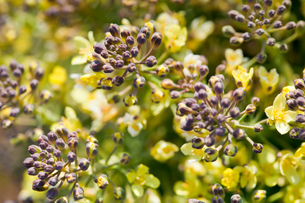 flower(broccoli)_03の写真素材 [FYI00444852]