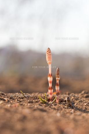 flower(horsetail)_29の写真素材 [FYI00444870]