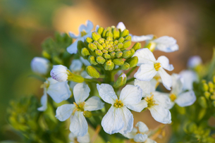 flower(Japanese_white_radish)_01の写真素材 [FYI00444874]