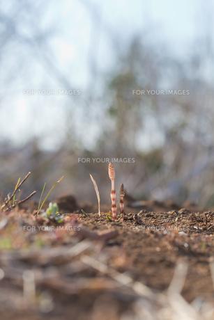 flower(horsetail)_25の写真素材 [FYI00444881]