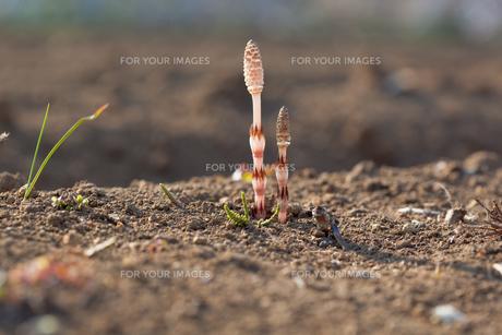 flower(horsetail)_26の写真素材 [FYI00444884]