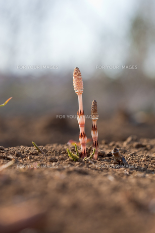 flower(horsetail)_33の写真素材 [FYI00444885]