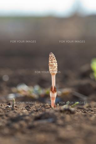 flower(horsetail)_32の写真素材 [FYI00444886]