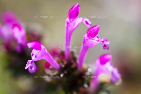 flower(Lamium_amplexicaule)_15の素材 [FYI00444887]
