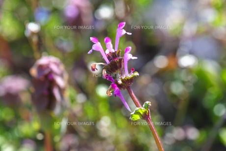 flower(Lamium_amplexicaule)_13の素材 [FYI00444888]