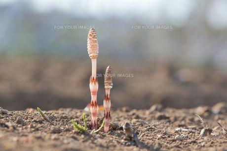 flower(horsetail)_28の写真素材 [FYI00444894]