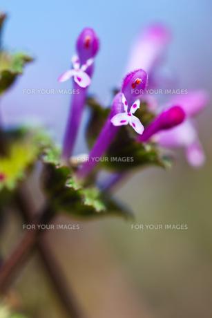 flower(Lamium_amplexicaule)_20の素材 [FYI00444895]