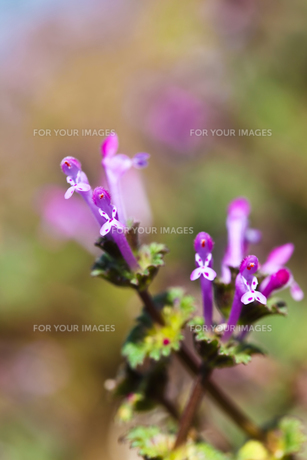 flower(Lamium_amplexicaule)_18の素材 [FYI00444897]