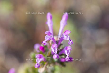 flower(Lamium_amplexicaule)_30の素材 [FYI00444898]