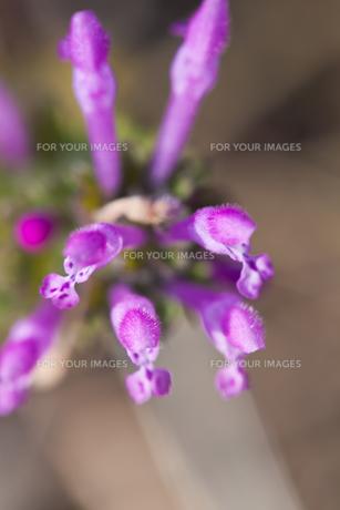 flower(Lamium_amplexicaule)_28の素材 [FYI00444899]