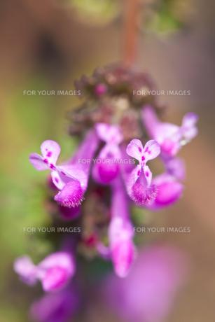 flower(Lamium_amplexicaule)_27の素材 [FYI00444902]