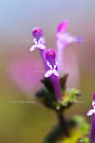 flower(Lamium_amplexicaule)_19の素材 [FYI00444903]