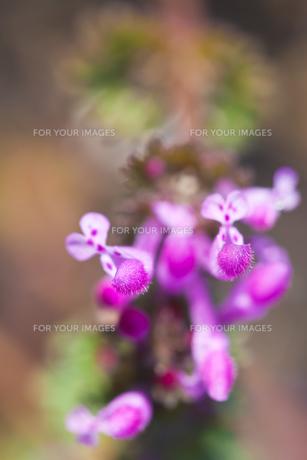 flower(Lamium_amplexicaule)_26の素材 [FYI00444905]