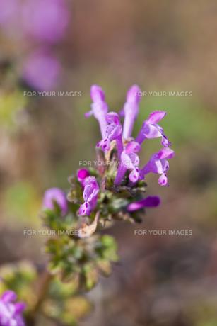 flower(Lamium_amplexicaule)_36の素材 [FYI00444907]