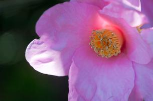 flower(Camellia_japonica)_37の写真素材 [FYI00444935]