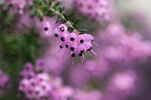 flower(Erica)_04の写真素材 [FYI00444940]