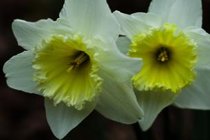 flower(Narcissus_tazetta)_34の写真素材 [FYI00444947]