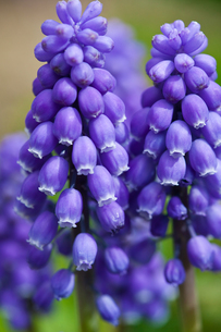 flower(Rosmarinus_officinalis)_04の写真素材 [FYI00444948]