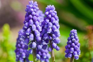 flower(Rosmarinus_officinalis)_05の写真素材 [FYI00444949]