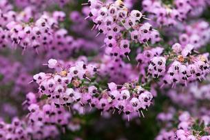 flower(Erica)_03の写真素材 [FYI00444951]