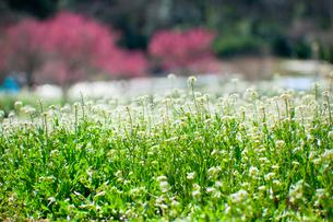 flower(Capsella_bursa-pastoris)_19の写真素材 [FYI00444953]
